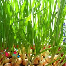 """Лук севок """"на перо"""" (зелень), Украина 0,5 кг"""