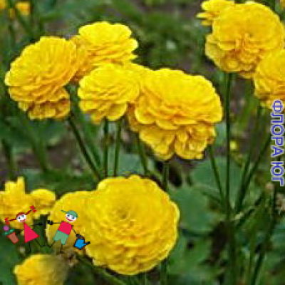 Ranunculus acris Multiplex (Лютик едкий Мультиплекс)