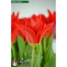 Тюльпан Madame Lefeber (Мадам Лефебер)