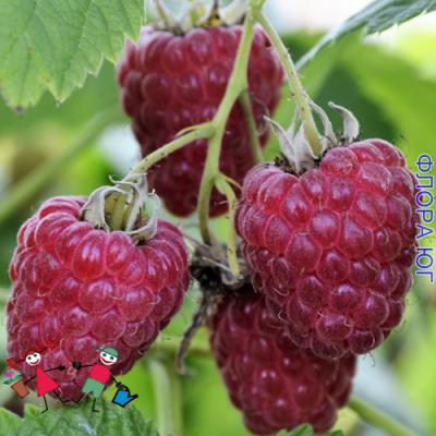 Малина Rubus Idaeus (Феномен)