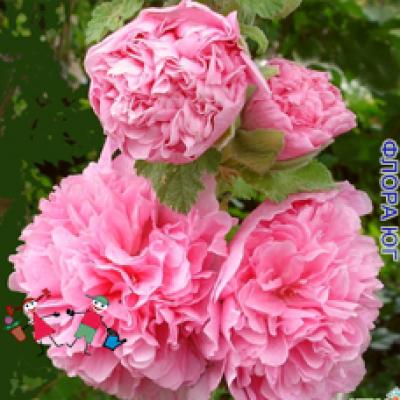 Мальва махровая, розовая