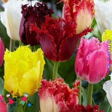 Клумба тюльпанов Бахромчатые