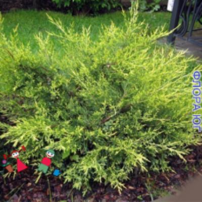 Juniperus sabina Arcadia (Можжевельник казацкий Аркадия)