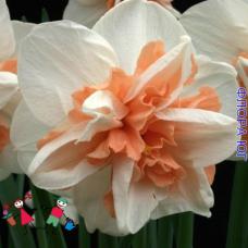 Нарцисс Replete (Реплит) Голландия