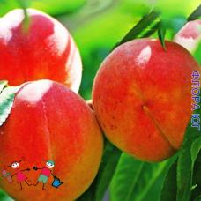 Персик Медовый