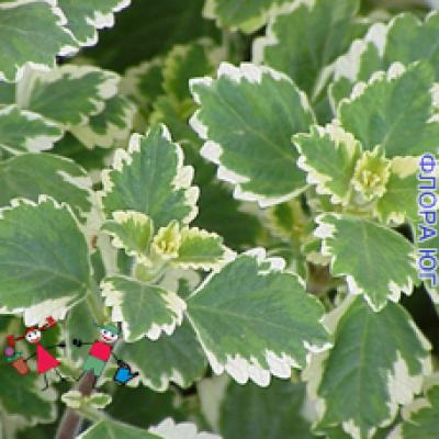 Plectranthus (Плектрантус)