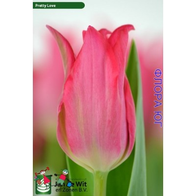 Тюльпан Pretty Love ( Притти Лав )