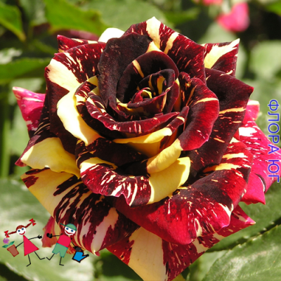 Роза Abracadabra (Абракадабра)