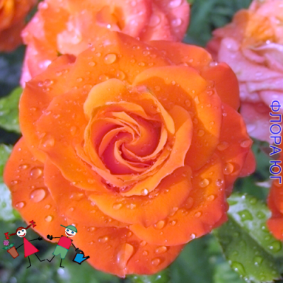Роза Alegria (Алегрия)