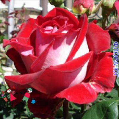 Роза Alliance (Альянс)