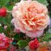 Роза Aloha (Алоха)
