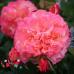 Роза Augusta Louise (Августа Луиза)
