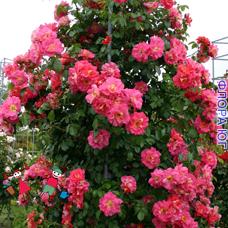 "Роза ""Баяццо"" (Bajazzo)"