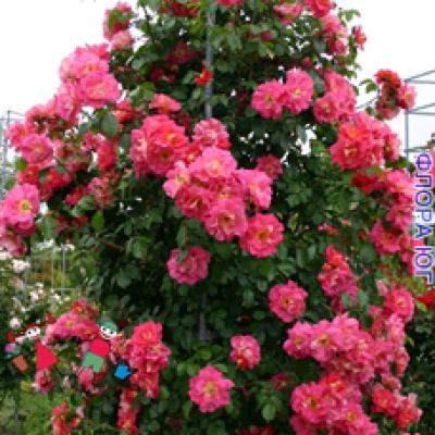 Роза Bajazzo (Баяццо)