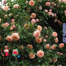 """Роза """"Барок"""" (Barock)"""