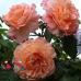 Роза Barock (Барок)
