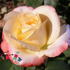 Роза Belle Perle (Белле Перла)