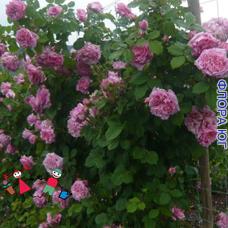 """Роза """"Бьенвеню"""" (Bienvenue)"""