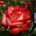 Роза Blush (Блаш)