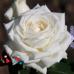 Роза Boeing (Боинг)