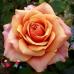 "Роза ""Черри Бренди"" (Cherry Brandy)"