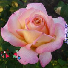 """Роза """"Конфиданс"""" (Confidence)"""