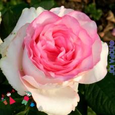 "Роза ""Дольче Вита"" (Dolce Vita)"