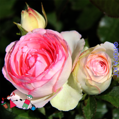 """Роза """"Эден Роуз"""" (Eden Rose)"""