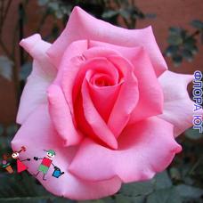 """Роза """"Эмили"""" (Emily)"""