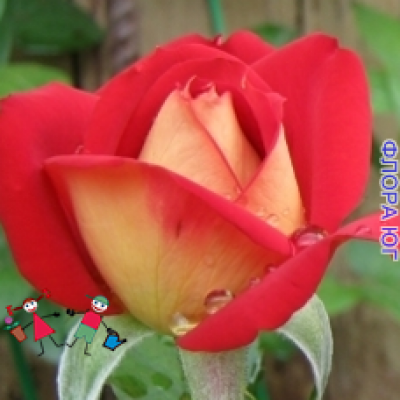 """Роза """"Френдшип"""" (Friendship)"""