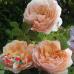 "Роза ""Джинджер Силлабаб"" (Ginger Syllabub)"