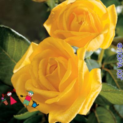 "Роза ""Голден Медальон"" (Golden Medaillon)"