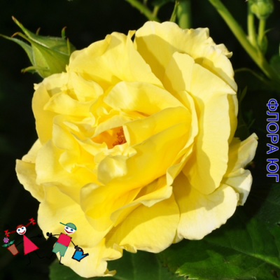 "Роза ""Голден Шауэрс"" (Golden Showers)"