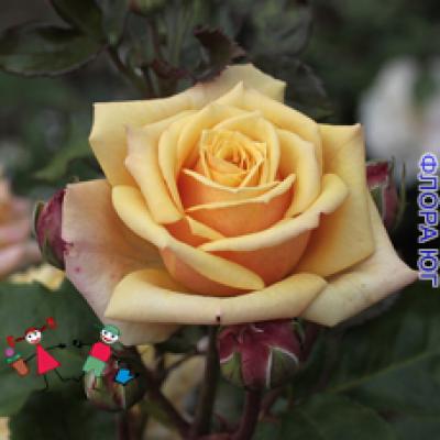 """Роза """"Голден Тауэр"""", (Golden Tower)"""