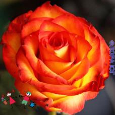 """Роза """"Высший свет"""" (High Society)"""