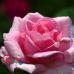 "Роза ""Жардин де Вилландри"" (Jardins de Villandry)"