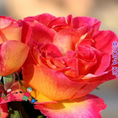 """Роза """"Ля Пассионата"""" (La Passionata)"""