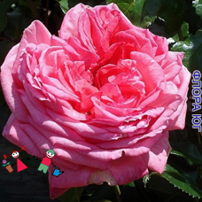 "Роза ""Ля Роз де Молинар"" (La Rose de Molinard)"