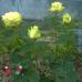 """Роза """"Лимбо"""" (Limbo)"""