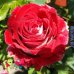 """Роза """"Люксор"""" (Luxor)"""