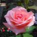 """Роза """"Куин Элизабет"""" (Queen Elizabeth)"""