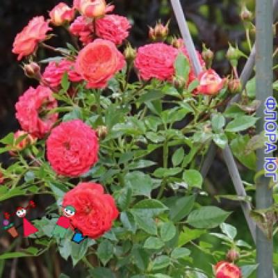 "Роза ""Старлет- Роз Кармен"" (Starlet-Rose Carmen)"