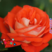 "Роза ""Верано"" (Verano)"