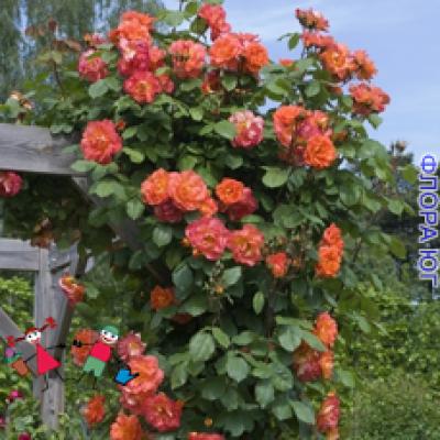 """Роза """"Вестерленд"""" (Westerland)"""