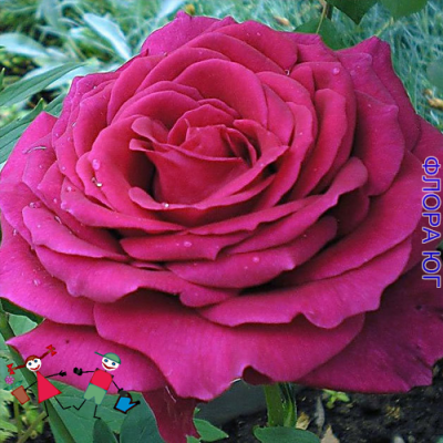 "Роза ""Юрианда"" (Yrianda)"