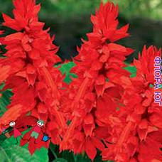 Сальвия Блестящая красная