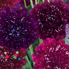 Скабиоза Пурпурная смесь
