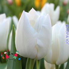 Тюльпан Сноу Леди