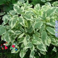 Aegopodium Variegatum (Сныть Пестролистная)