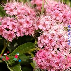 Spiraea Japonica  (Спирея Японская)